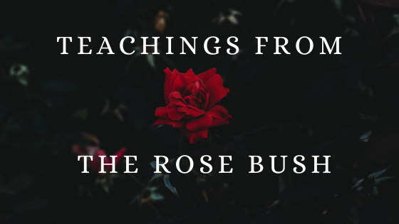teachings from a rose bush